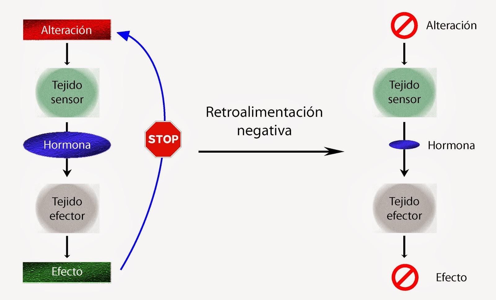 Consecuencias de la retroalimentación negativa sobre las hormonas