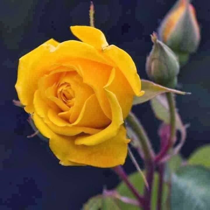 Beautiful Yellow Rose Flower Image Picture