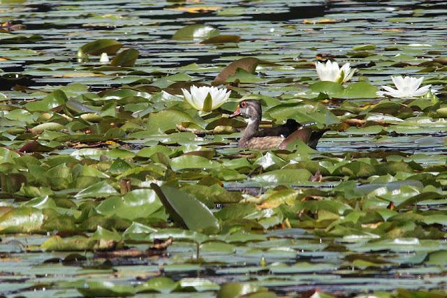 external image 9-1-female-wood-duck.jpg