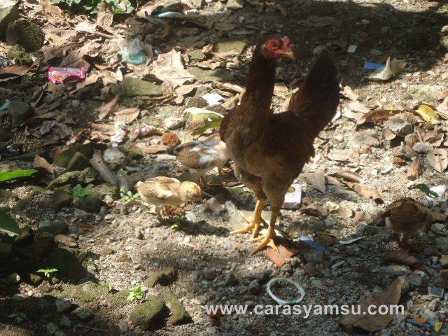 Belajar dari kisah induk ayam