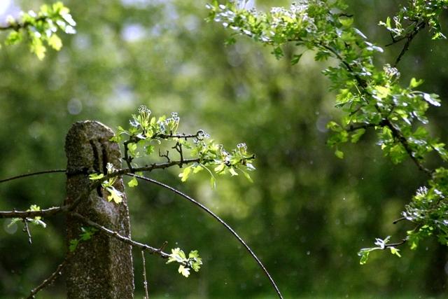 Hawthorn in the rain