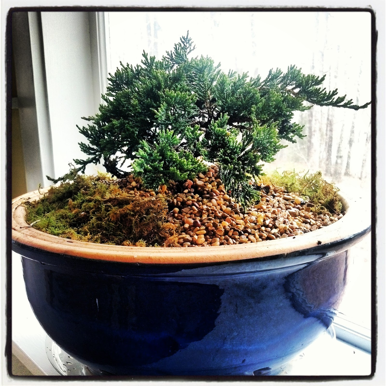Albie Rock Bonsai