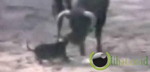 Seekor anjing yang menyelamatkan matador dari serangan banteng