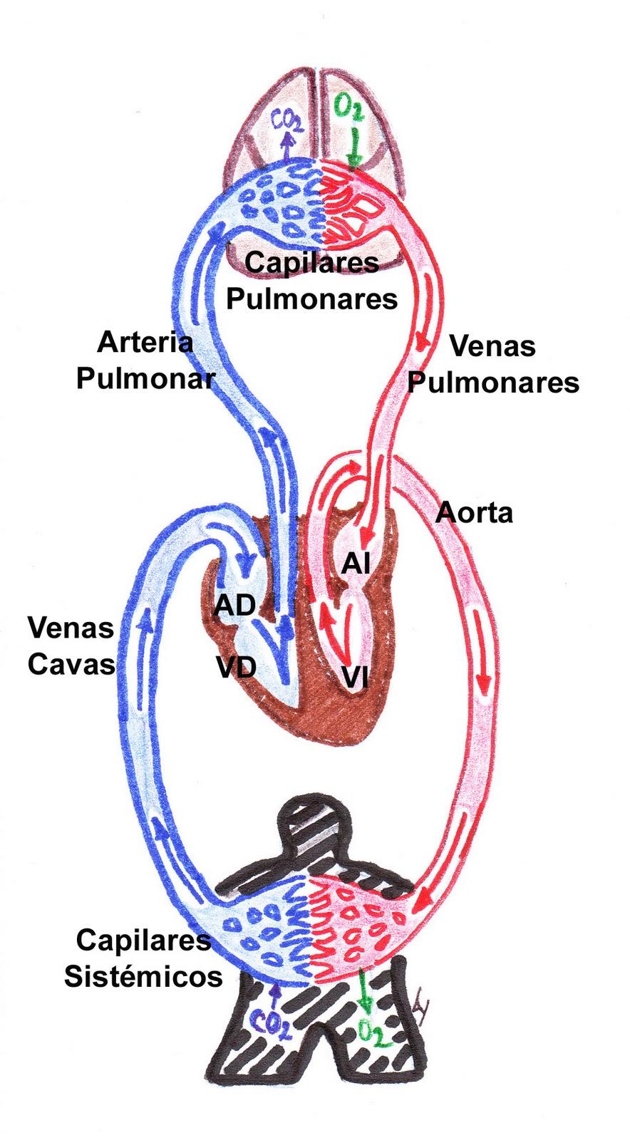 Circuito Que Realiza La Sangre : Estudios anatómicos circulación mayor y menor