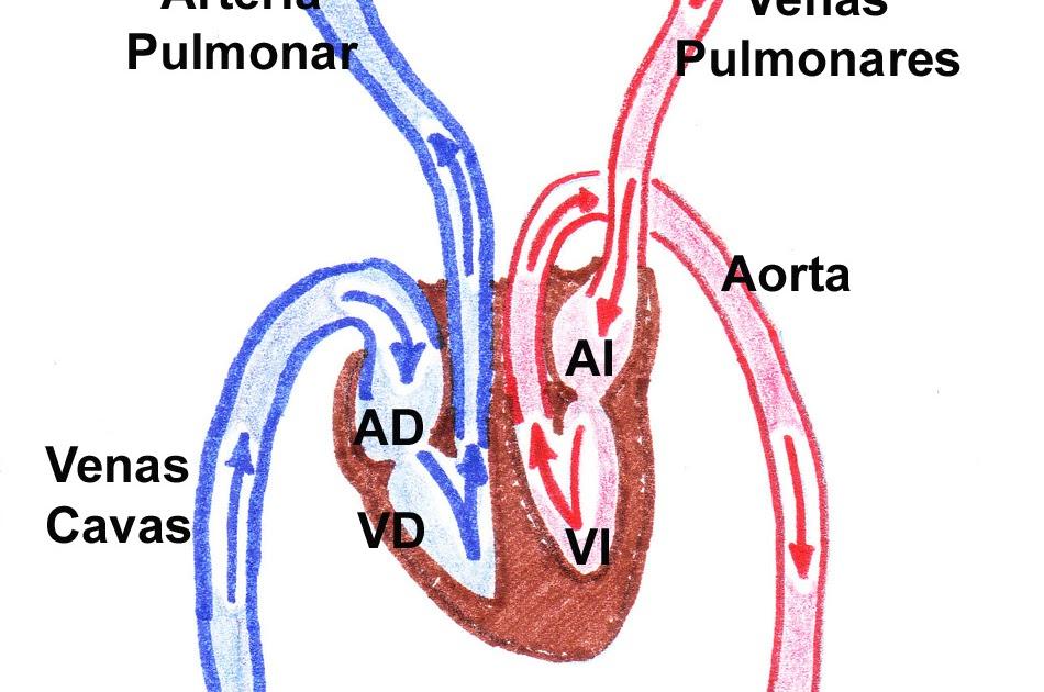 Circuito Mayor : Estudios anatómicos circulación mayor y menor