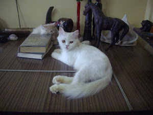 "Queen cat ""Matahari"", the foundation of  my ""Cat breeding"" enthusiasm for the ""Traditional Persian"