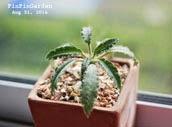 http://finfingarden.blogspot.com/2014/12/dorstenia-sp-lavranos-cactus-cacti.html