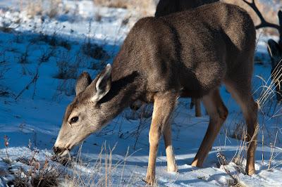 Mule Deer Doe, Rocky Mountain National Park