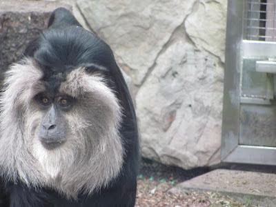 обезьяна +с лицом человека