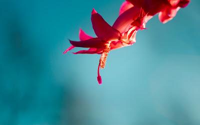 Red Flower Windows 8 Wallpaper