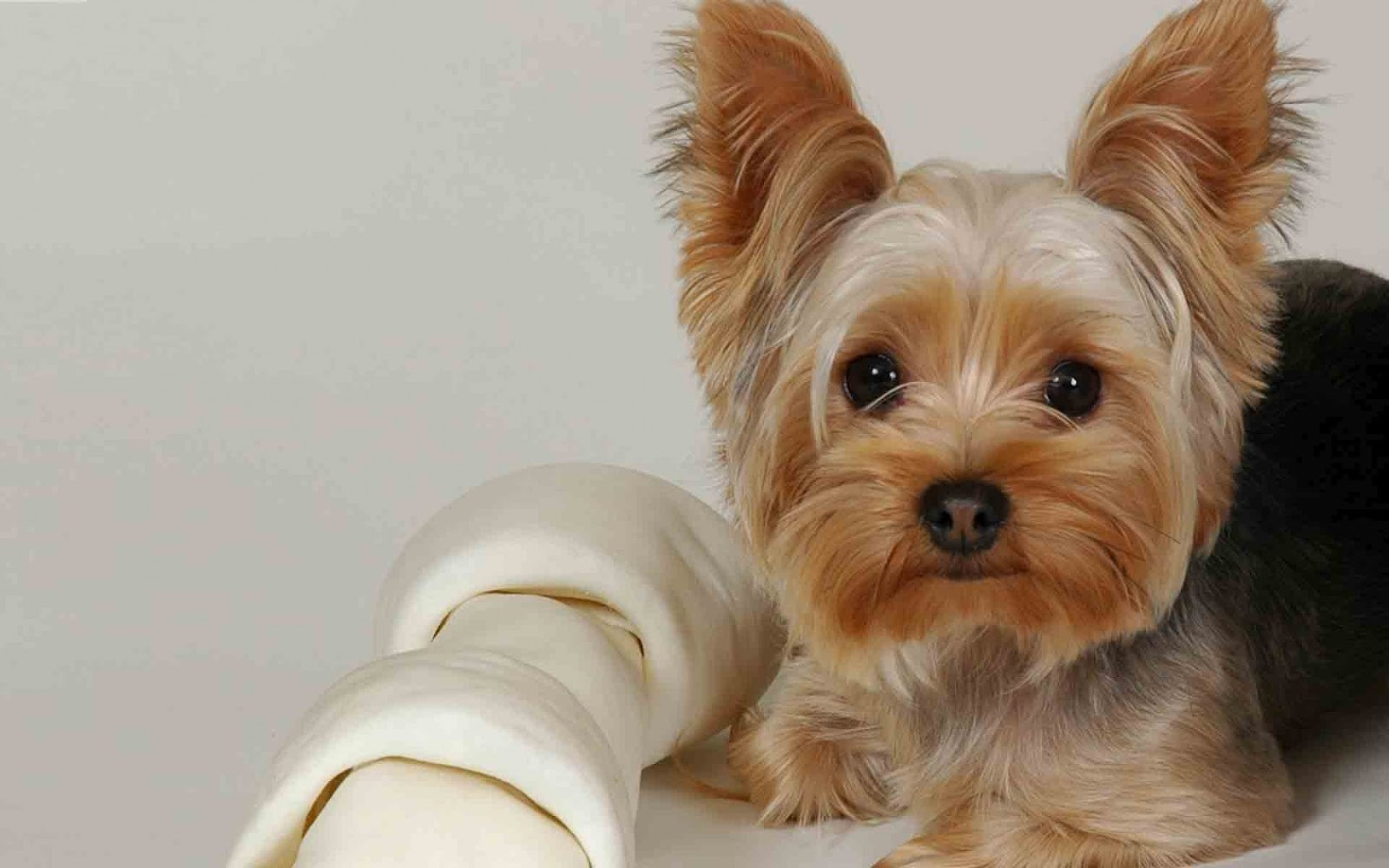 Yorkshire Terrier The Life Of Animals