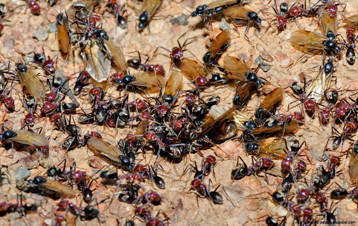 Queen ant   Wikipedia the free encyclopedia