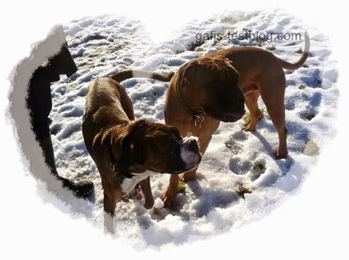 Boxer- Amy und Elvis