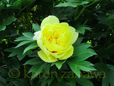 Clear bright yellow tree peony flower with deep green leaves blooming in Port Credit at the BRG.