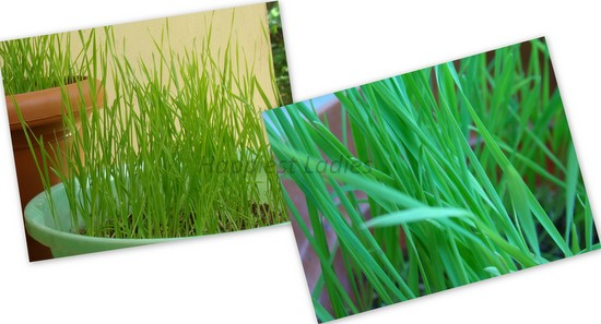 is wheatgrass good for health