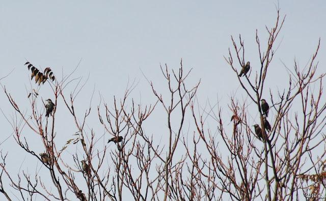 Etourneaux sur un arbre.