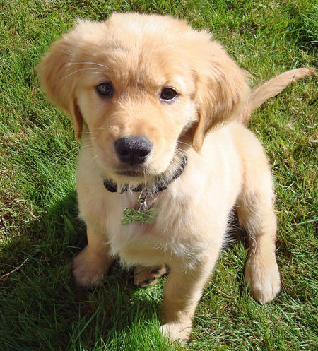 golden retriever pictures and information dog breed