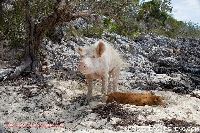 Đảo heo Big Major Spot – Bahamas 1