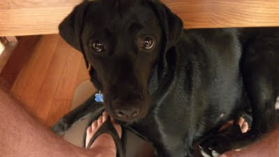 A picture of Berkeley sitting at my feet under the desk.  She has a very cute face.