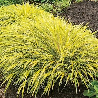 Durham council of garden clubs september calendar of for Yellow ornamental grass