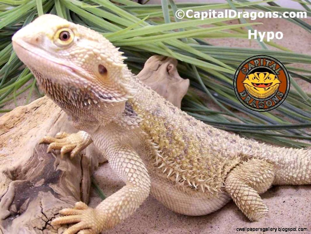 Baby bearded dragon wallpaper wallpapers gallery view original size voltagebd Choice Image