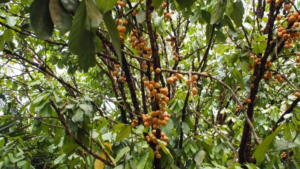 Pohon Duku - Sedang lebat berbuah!