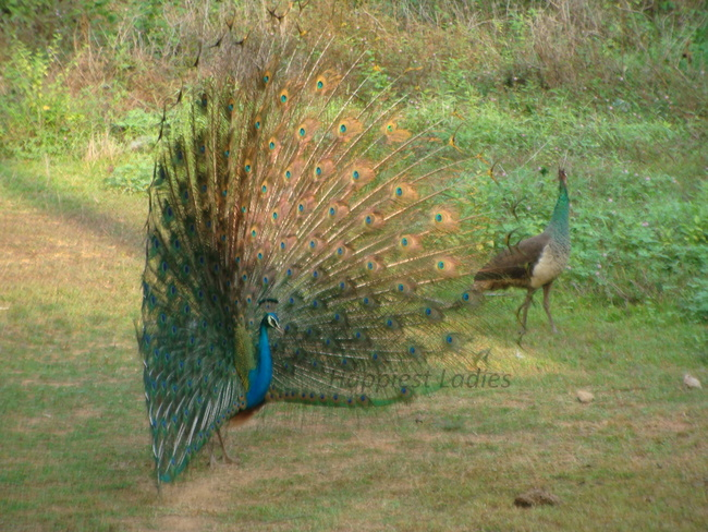 peacock attracting peahen