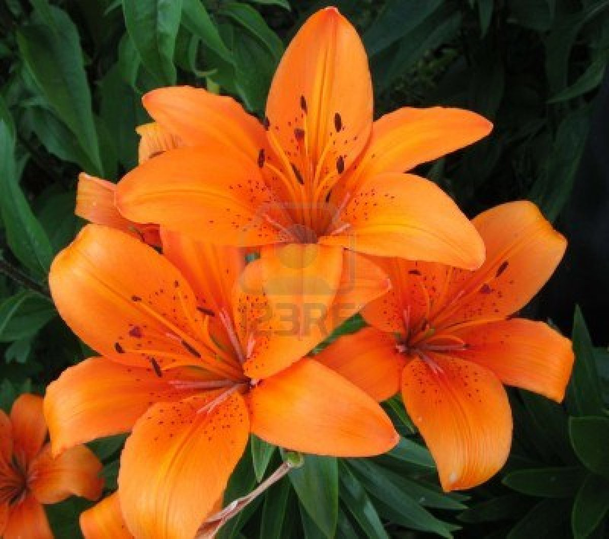 Orange Tiger Lily Flower Lily  the flower of edenOrange Tiger Lily