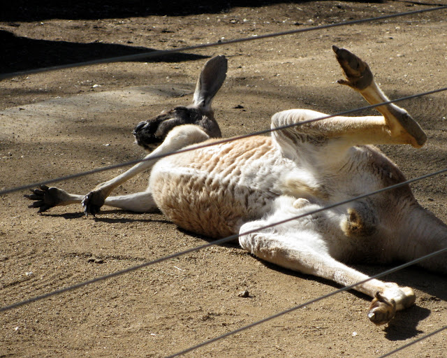 San Diego Zoo, Red Kangaroo, rolling in the dust.