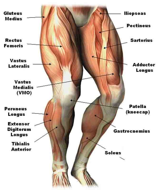 Lower leg anatomy muscles and tendons