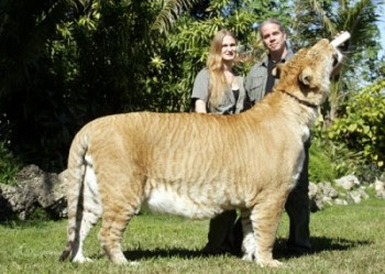 largest wild cat - photo #1