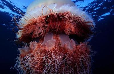 ubur-ubur raksasa, unik aneh