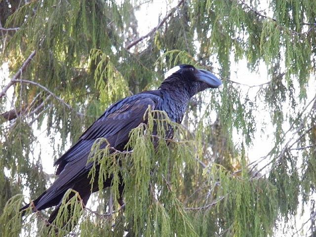 Thick-billed Raven Ethiopia