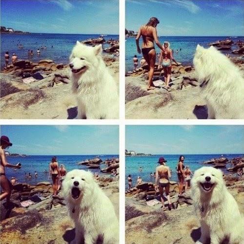 El perro sabe samoyedo meme