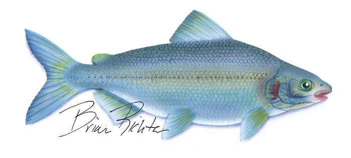 Mountain white-fish