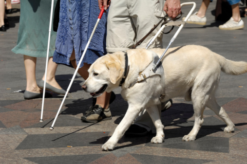 Guide dogs for the blind - photo#24