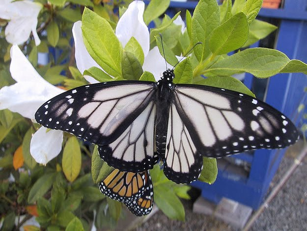 8 oddly colored creatures, amazing creatures, White Monarch Butterflies