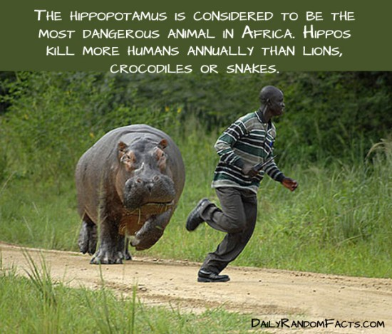 animal facts, facts about animals, interesting animal facts, hippos fact