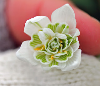 Galanthus nivalis 'Flore Pleno' commonly known as the double snowdrop
