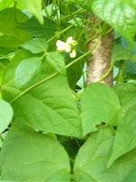 fiore%2Bbonel.JPG