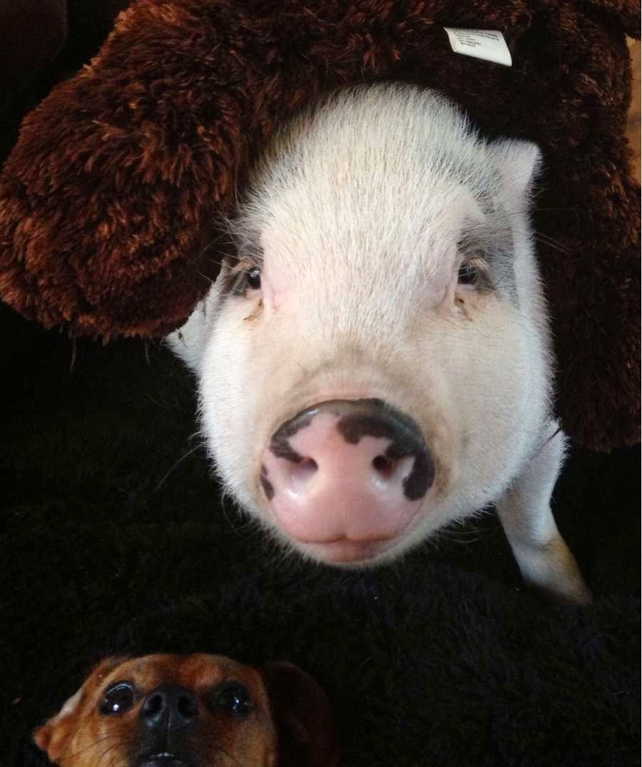 Funny animals of the week - 22 November 2013 (35 pics), pig photobomb by dog