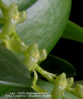 Stelis papaquerensis variedade 1 do blogdabeteorquideas