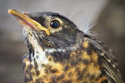 Baby Robin portrait (c) John Ashley