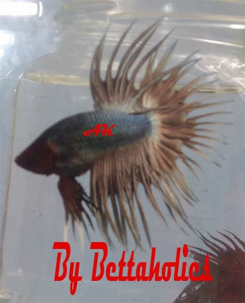 betta splendens of surakarta cupang hias serit crowntail