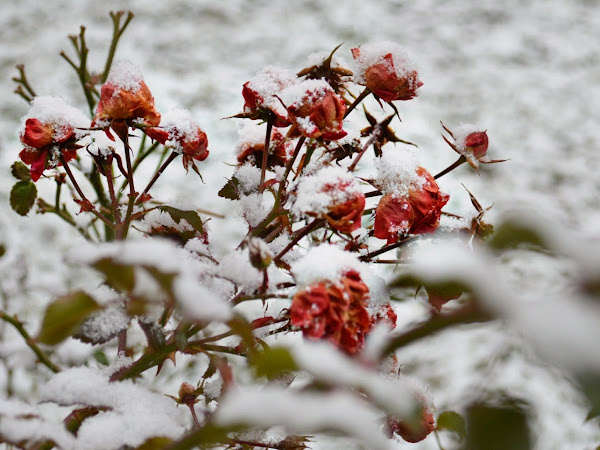 Roses In The Snow & New Blog Design