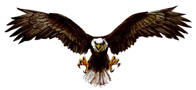 Aguila para dibujar a color  Imagui