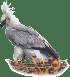 Gavião-real | Harpy Eagle