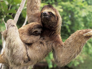 Three toed sloth and its baby