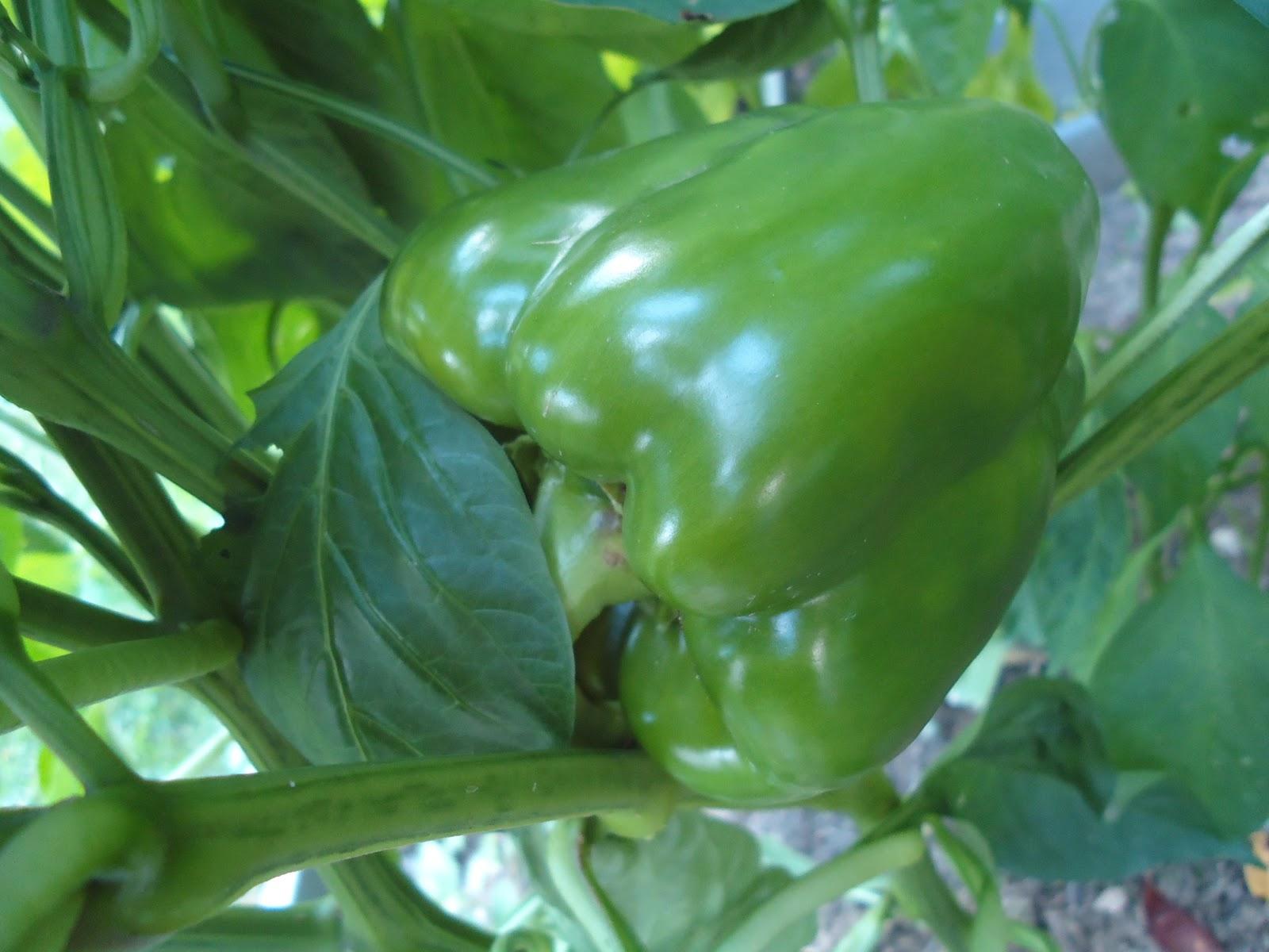 organic red pepper