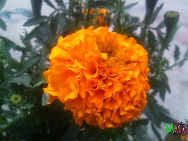 Metro Greens: Orange Marigold